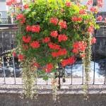 Kwiaty w mieście Polanica Zdrój