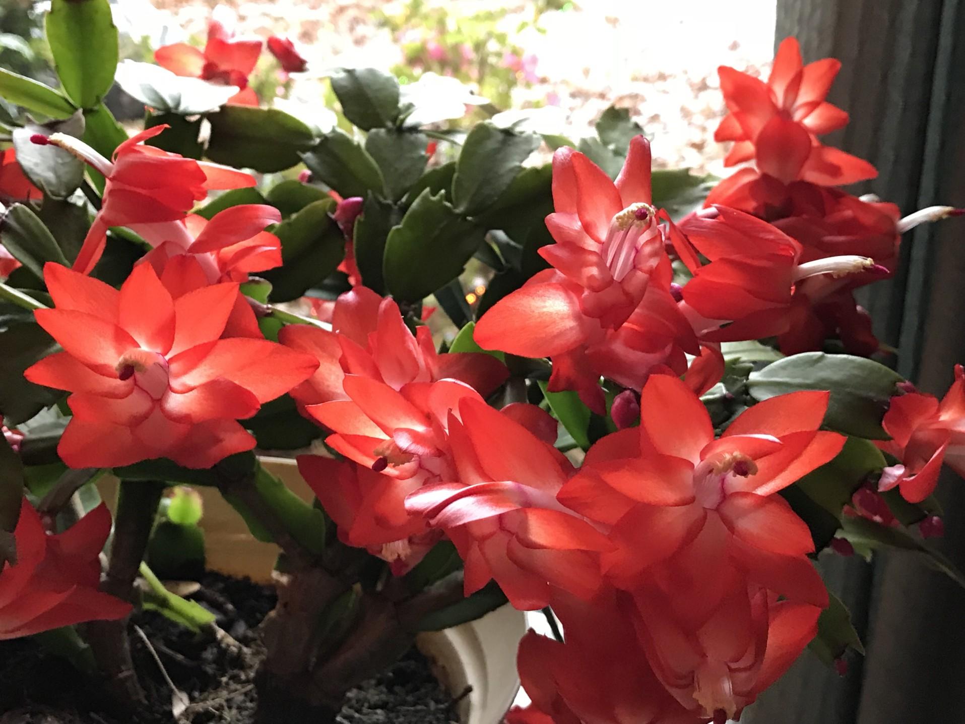 Kaktus bożego narodzeniada smith0521 via Twenty20