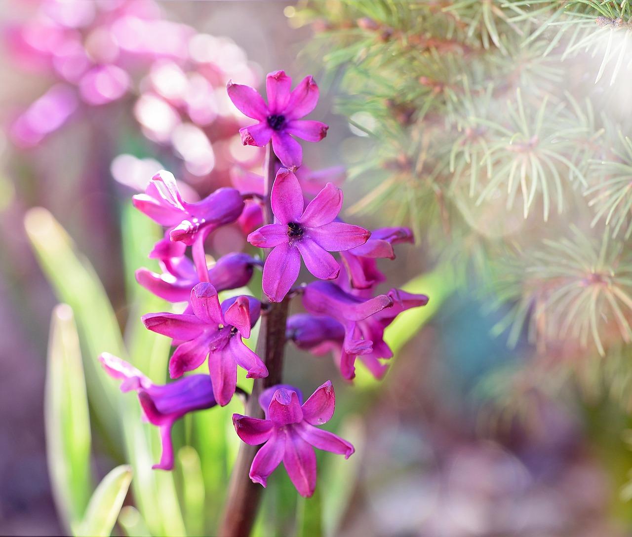 rośliny cebulowe (8)