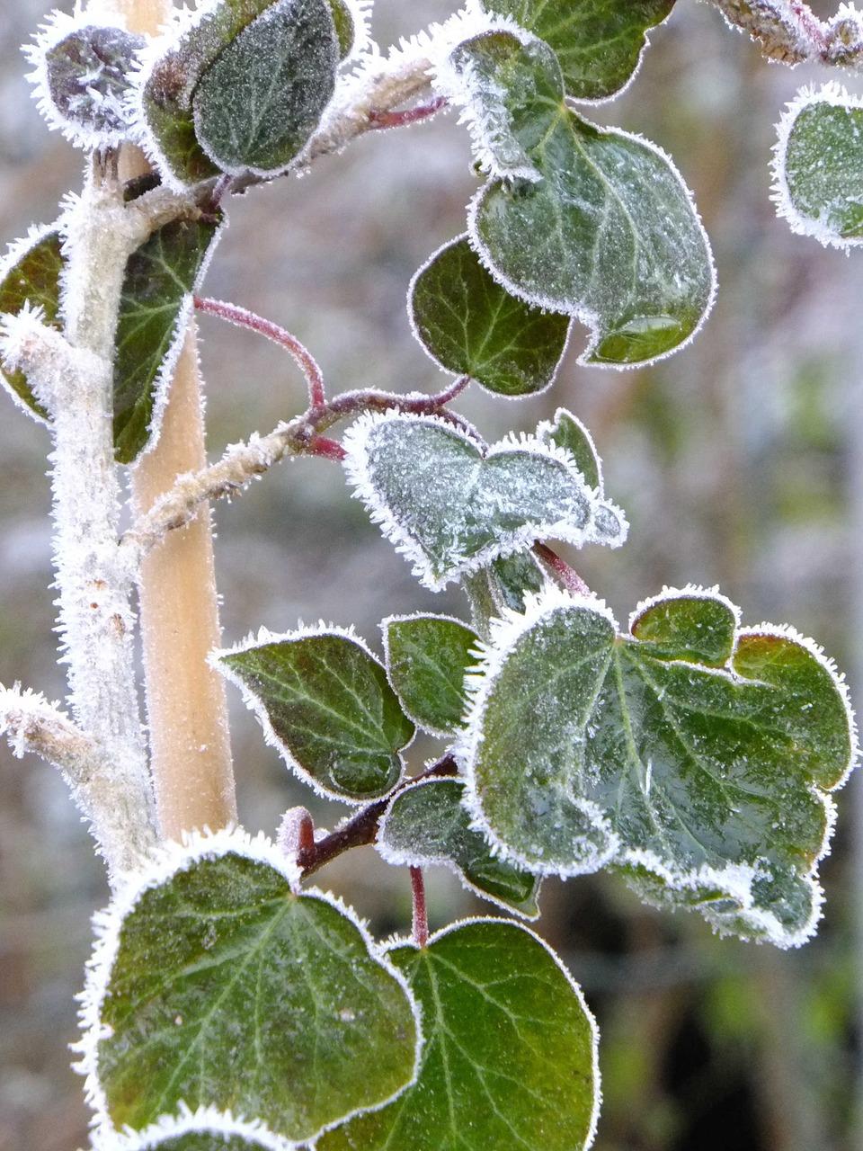 rośliny zimozielone (4)