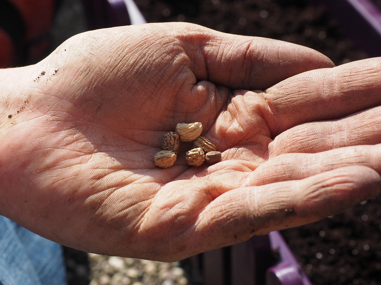 przygotowanie nasion do wysiewu (2)