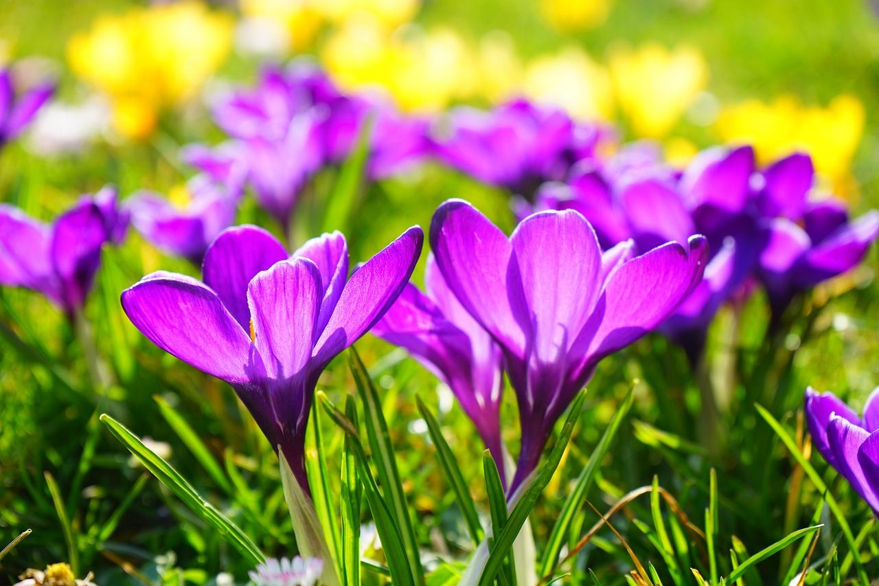 co kwitnie w marcu (4)