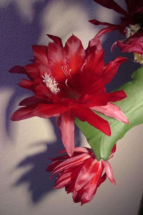 kaktus wielkanocny (2)