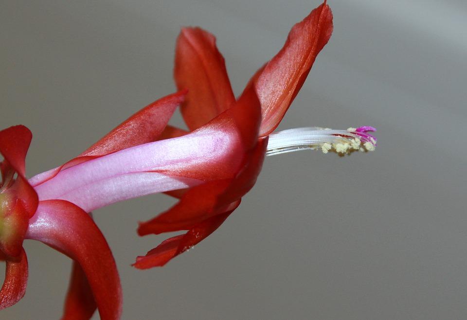 kaktus wielkanocny (6)
