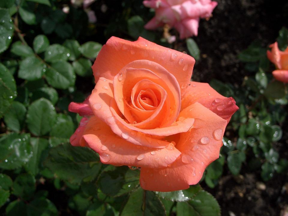 róża w mieście ukwiecenie miasta (5)