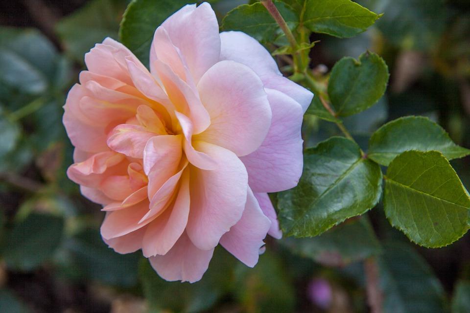 róża w mieście ukwiecenie miasta (6)