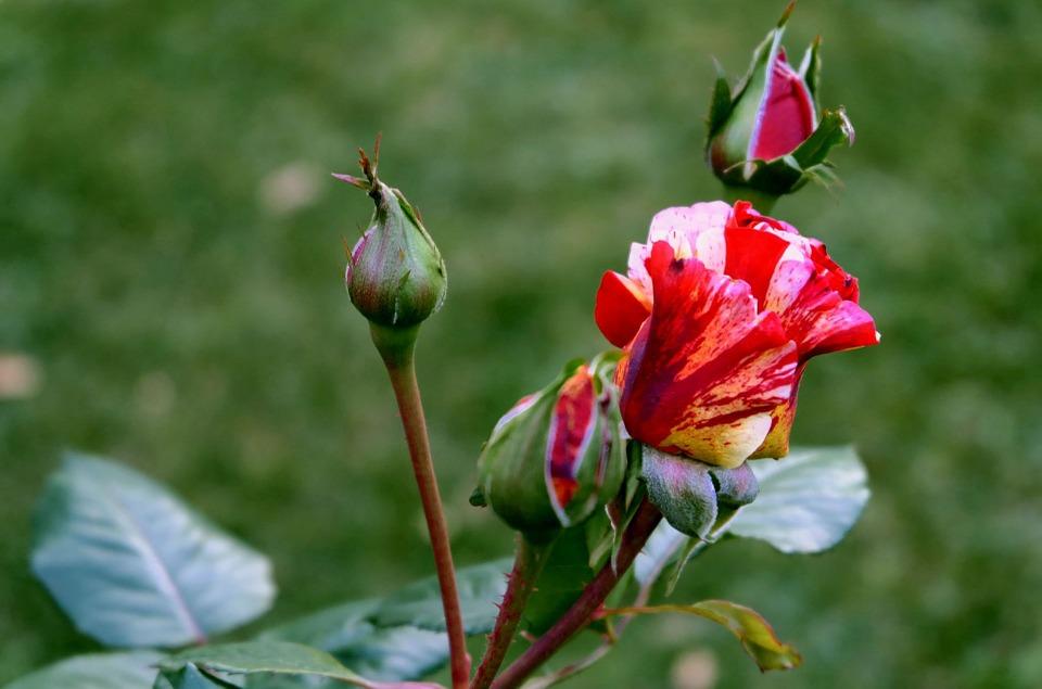 róża w mieście ukwiecenie miasta (8)