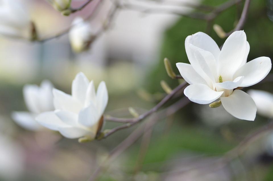 uprawa magnolii inspirowani natura terra group (1)