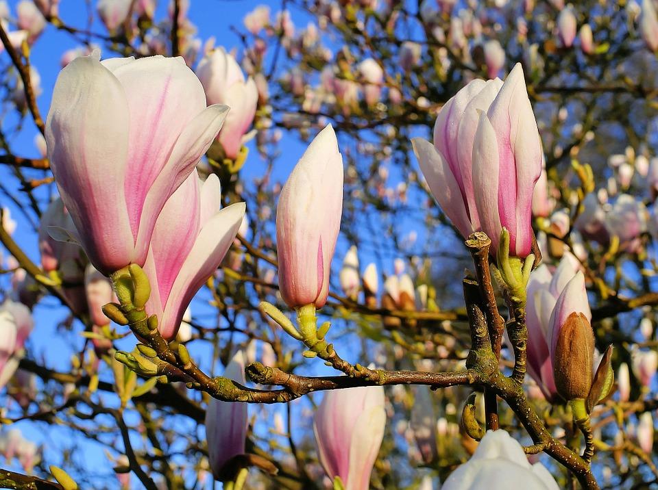 uprawa magnolii inspirowani natura terra group (3)