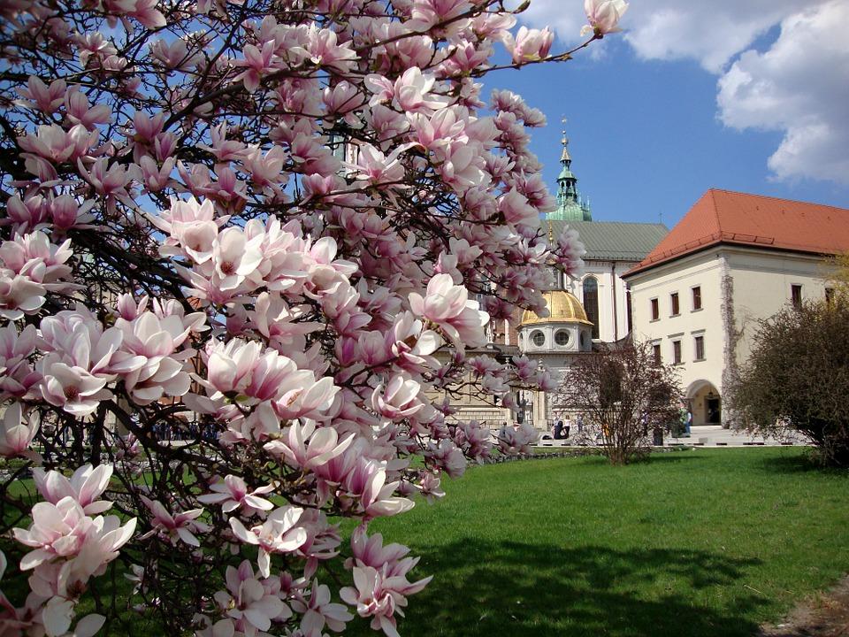 uprawa magnolii inspirowani natura terra group (5)