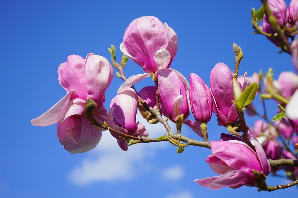 uprawa magnolii inspirowani natura terra group (6)