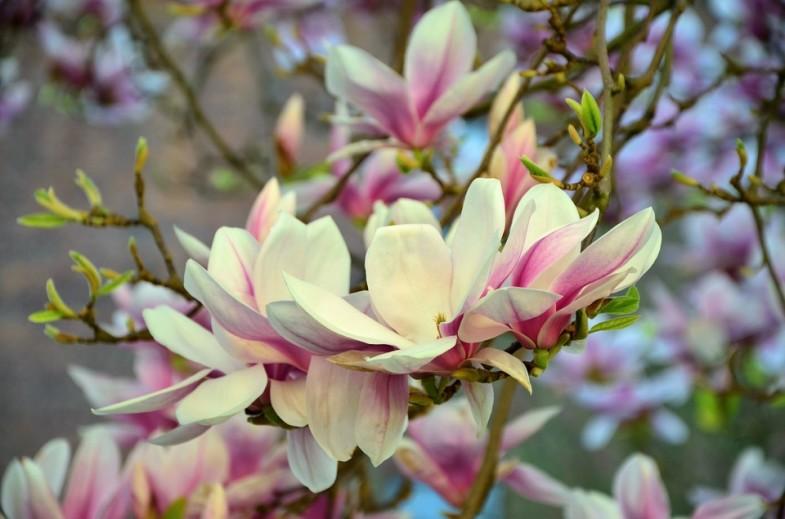 uprawa magnolii inspirowani natura terra group (7)