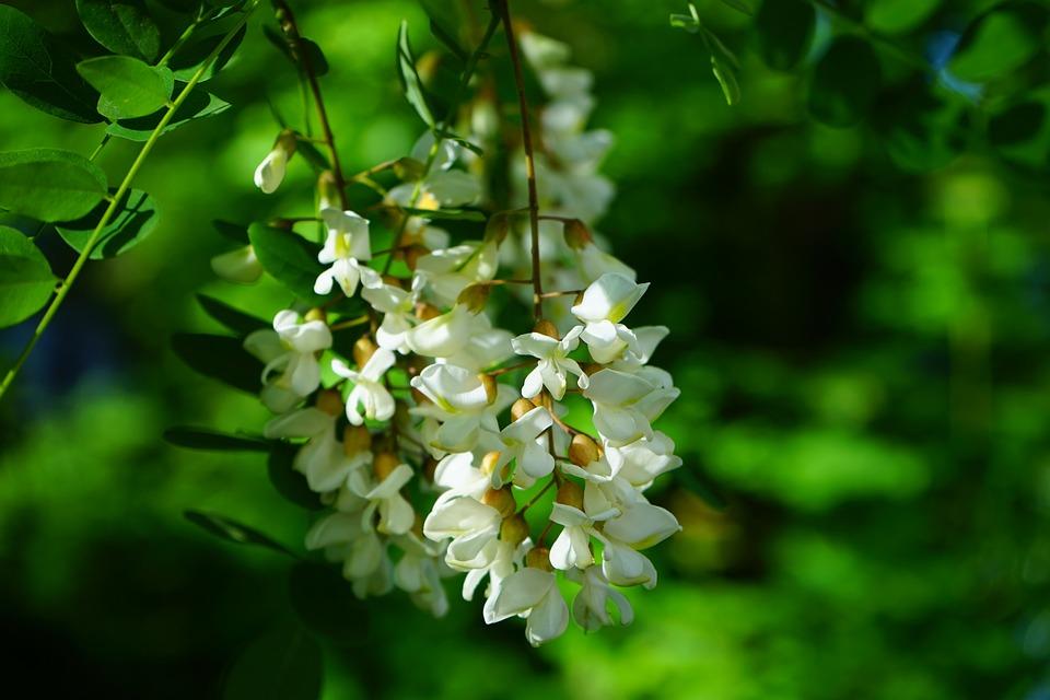 pachnące rośliny do ogrodu (10)