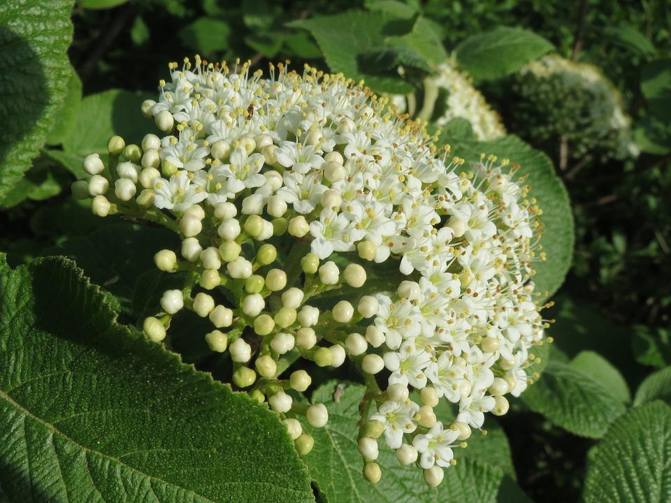 pachnące rośliny do ogrodu (5)