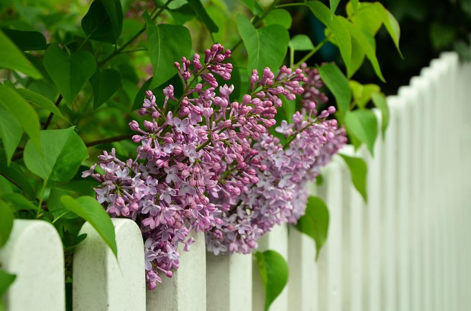 pachnące rośliny do ogrodu (7)