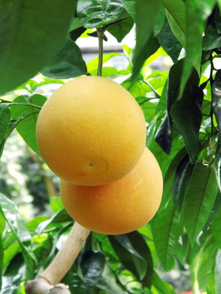 uprawa cytrusów (1)