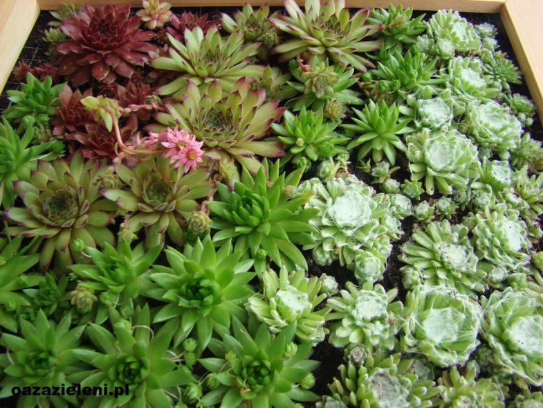 obraz z sukulentów oaza zieleni inspirowani (10)