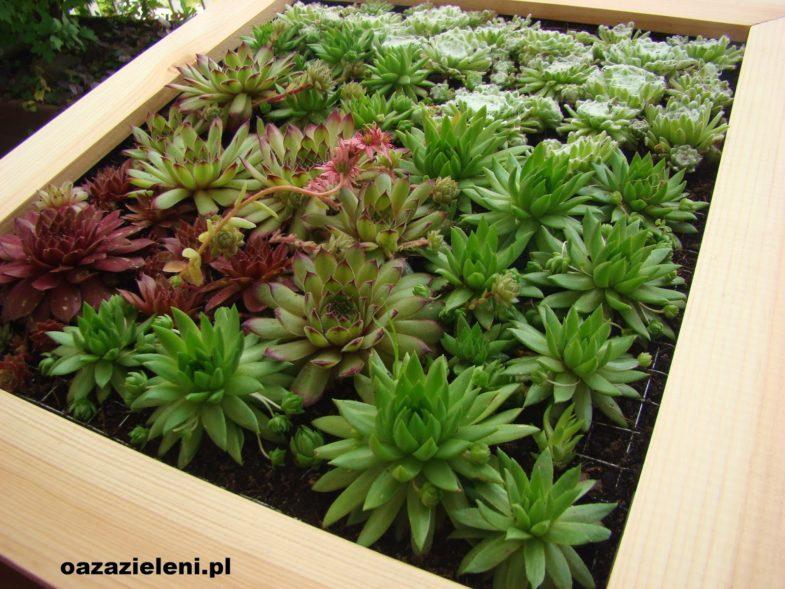 obraz z sukulentów oaza zieleni inspirowani (9)