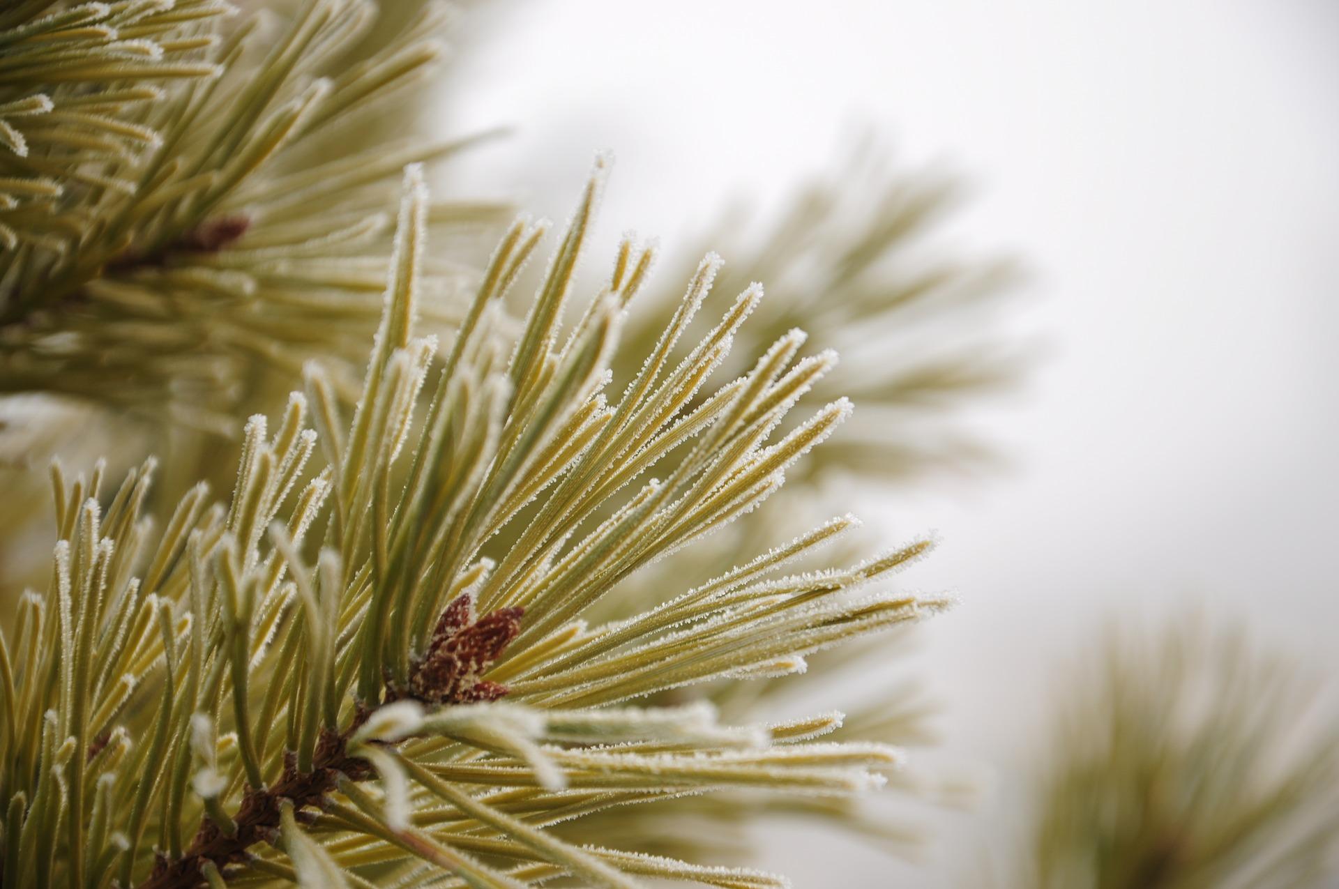 pine-1580665_1920