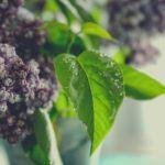 Bez ogródek, czyli jak dbać o lilak?