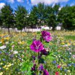 W tym roku cała Polska zakwitnie dzikimi kwiatami