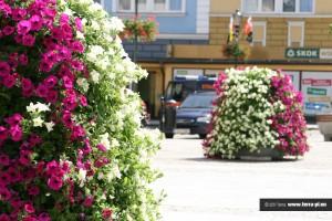 Kwiaty w mieście Żary