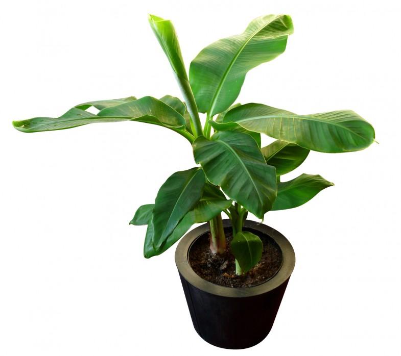 domowa uprawa bananowca
