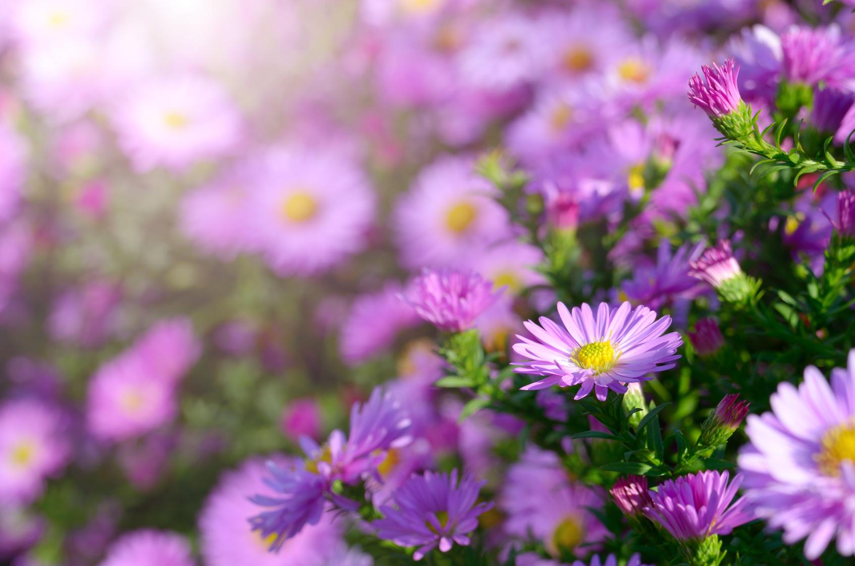 astry-to-piekne-jesienne-kwiaty