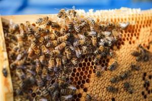 hodowla pszczół w mieście