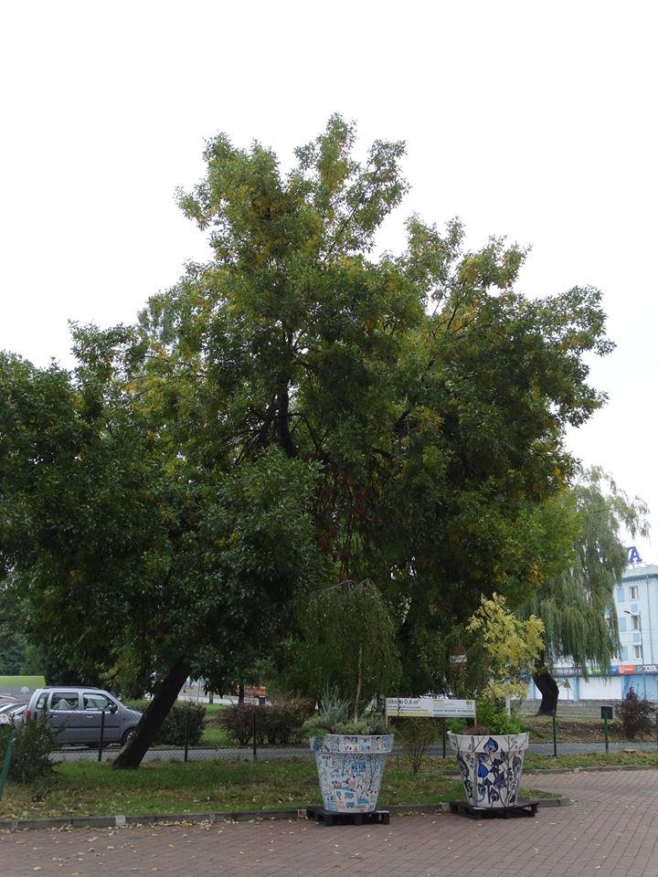 delegatura Łódź Bałuty, wędrujace drzewa nunoni (6)