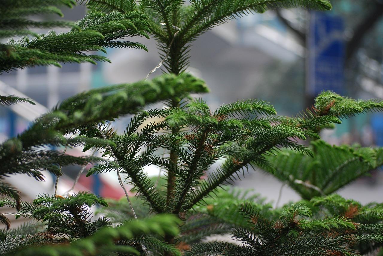 rośliny zimozielone (1)