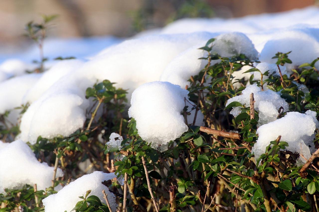 rośliny zimozielone (5)