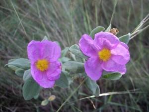 Czystek – kwiat medycyny naturalnej