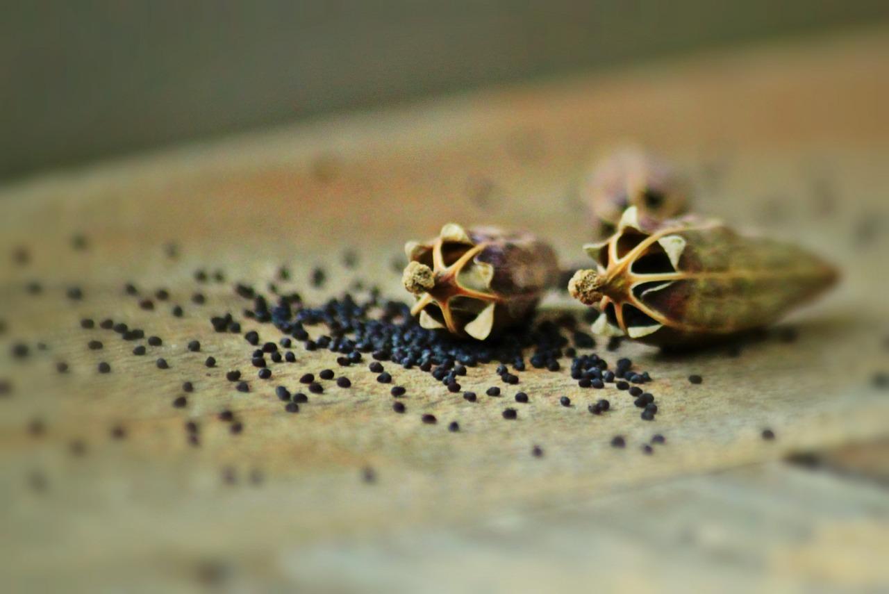 przygotowanie nasion dowysiewu (1)