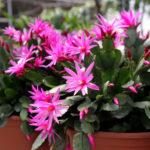 Kaktus wielkanocny – jak oniego dbać?