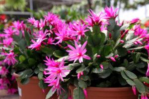 Kaktus wielkanocny - jak o niego dbać?