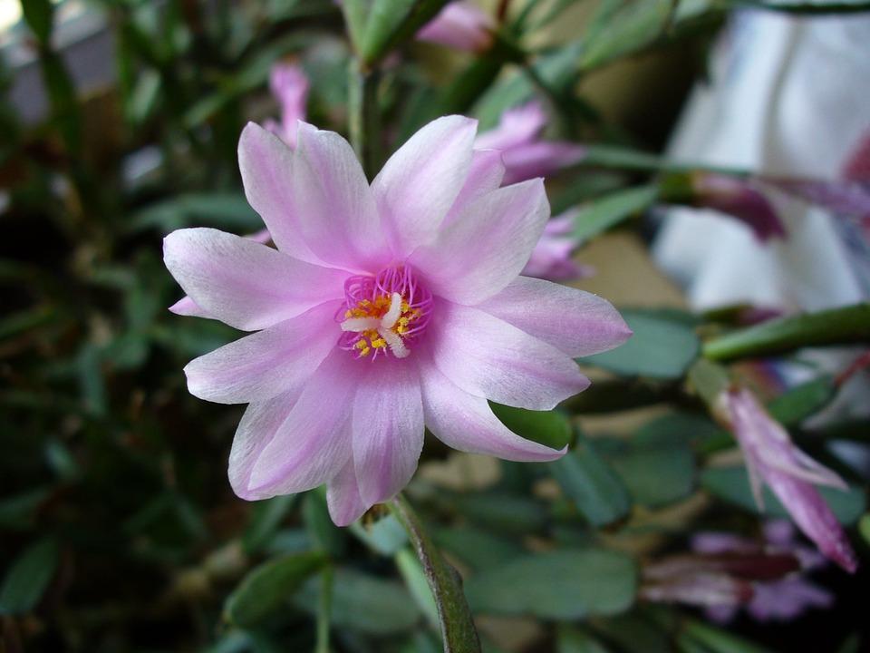 kaktus wielkanocny (4)