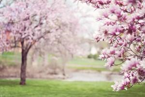 Magnolia - co warto wiedzieć?