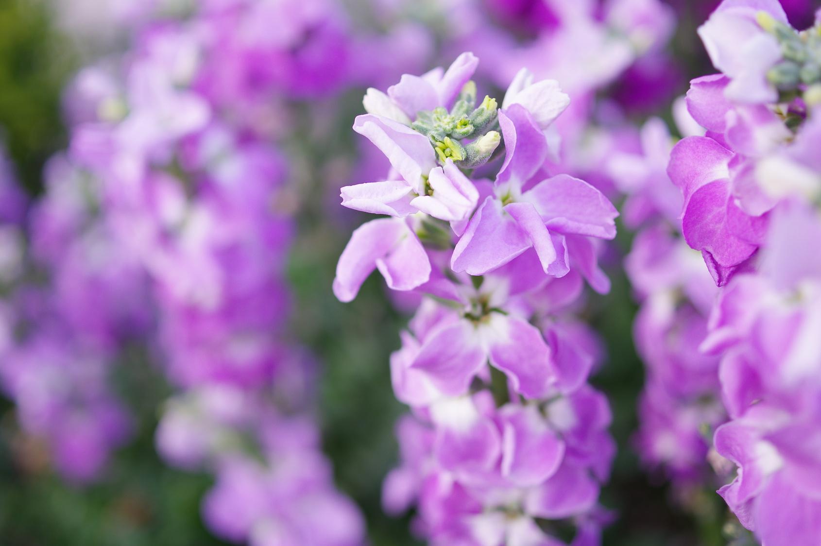pachnące kwiaty maciejka