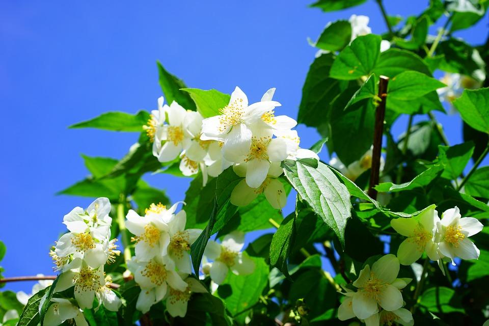 pachnące rośliny doogrodu (4)