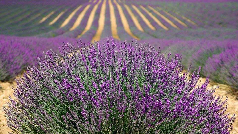 pachnące rośliny doogrodu (6)