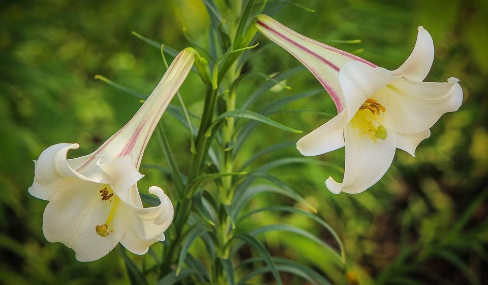 pachnące rośliny doogrodu (8)