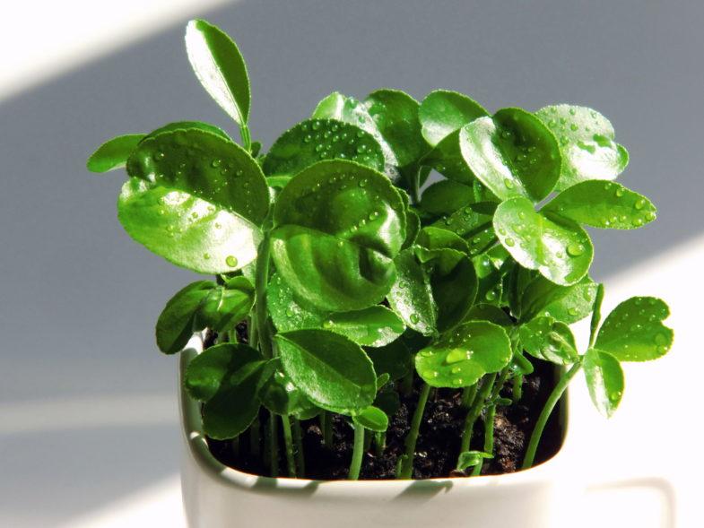 uprawa cytrusów (3)