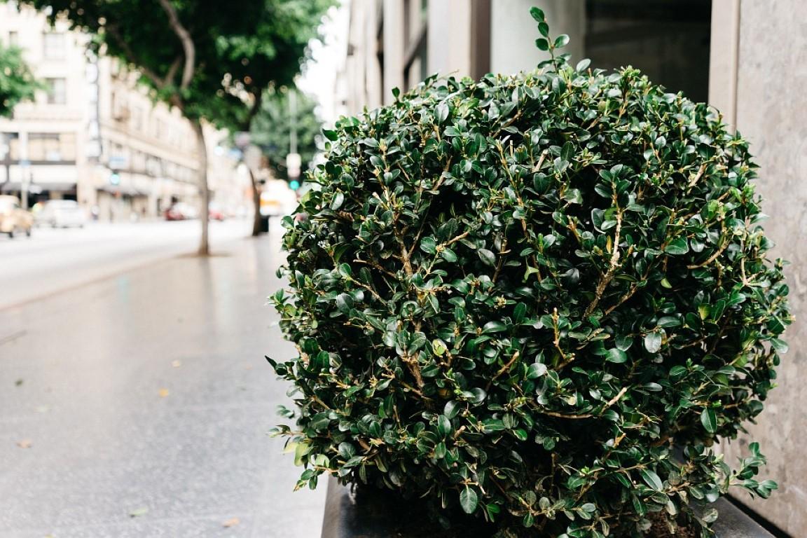 krzewy-w-miescie-medium