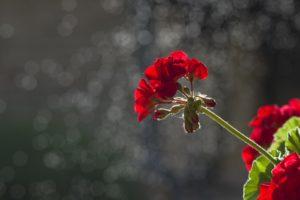 Zimowanie pelargonii - jak sprawić, by przetrwała?