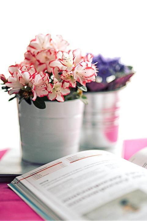 azalia-indyska-kwiaty-na-boze-narodzenie