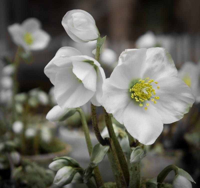 ogrodowe-rosliny-na-boze-narodzenie-10