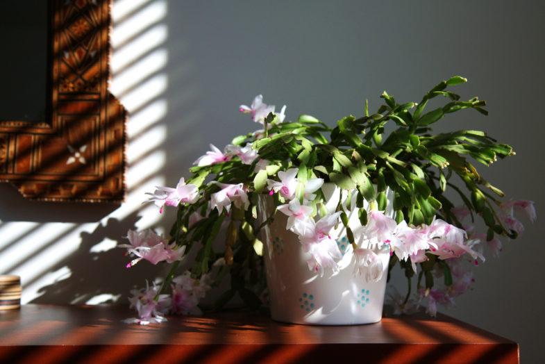 zygokaktus-kwiaty-na-boze-narodzenie-2