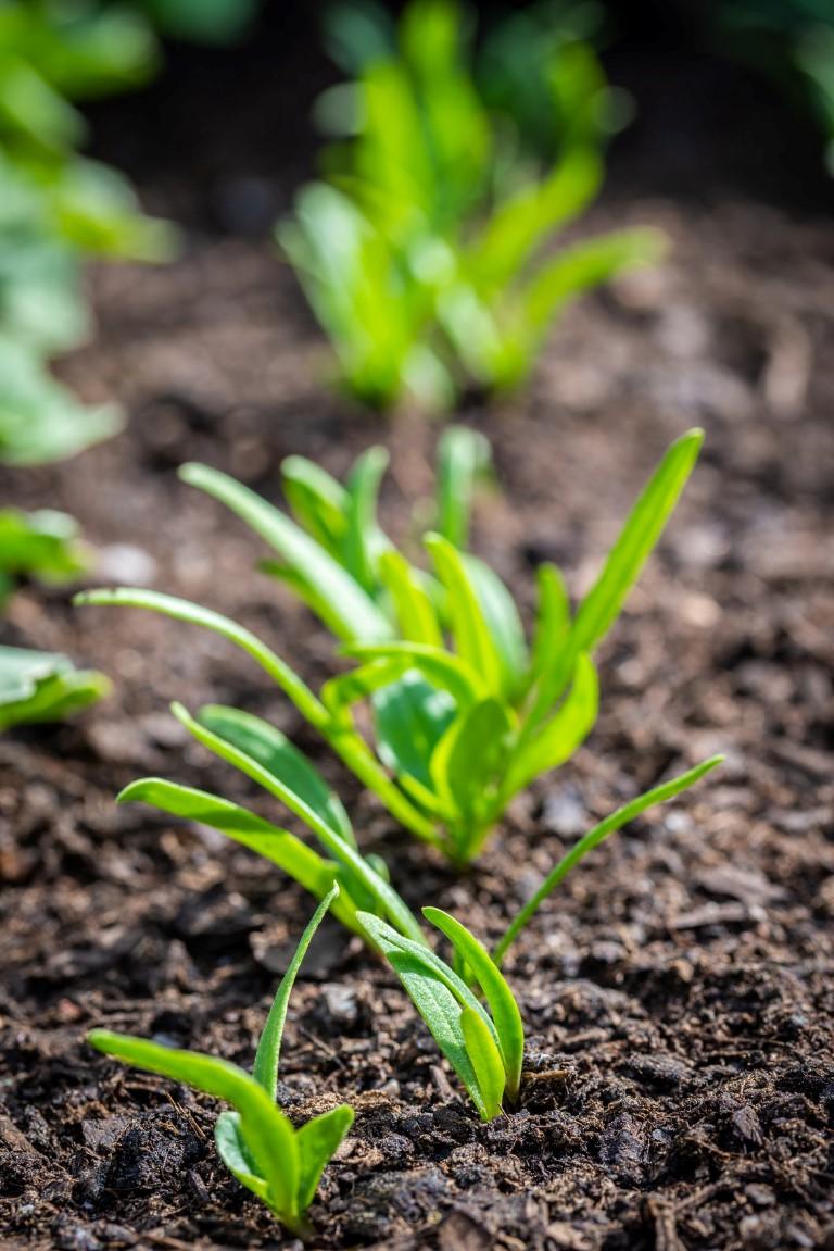 uprawa szpinaku wdonicy