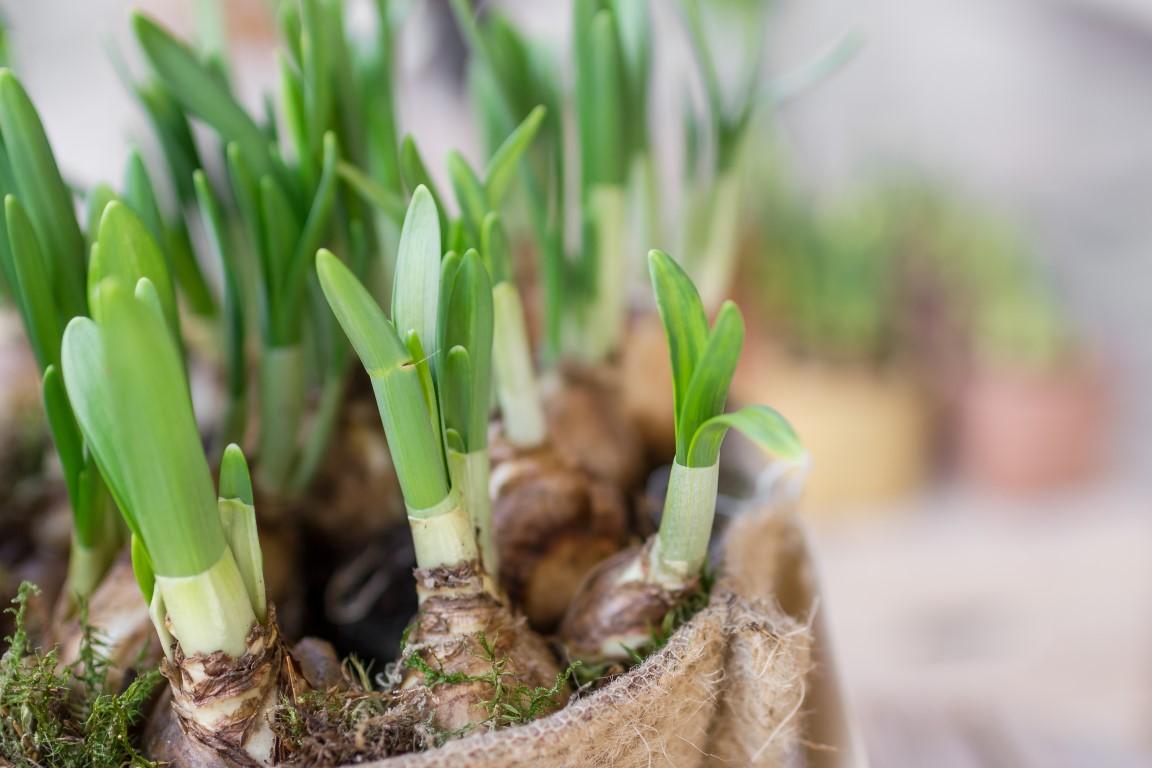 Sadzenie kwiatów cebulowych – co i jak